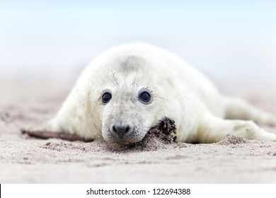 a white grey seal baby looks inquisitively at the beach with big opened eyes