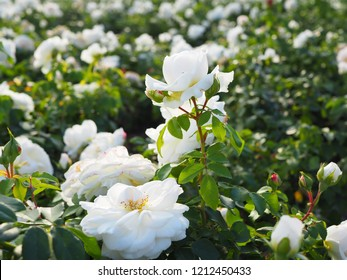 White growing rose - flower shrub