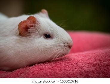 white guinea pig domestic  cute