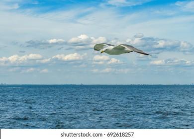 White gull flying Lower New York Bay, Atlantic Ocean