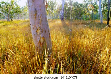 White Gum (Poplar Gum) Eucalyptus platyphylla and forest red gum E. tereticornis in grassy open forest of Imperata and softer grasses, floodplain of Sunday Creek, Wet Tropics World Heritage Area.