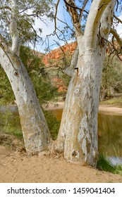 White gum trees in the East MacDonnell Range in the desert country of the Northern Territory Australia.