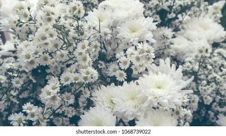 White gypsophila flower background