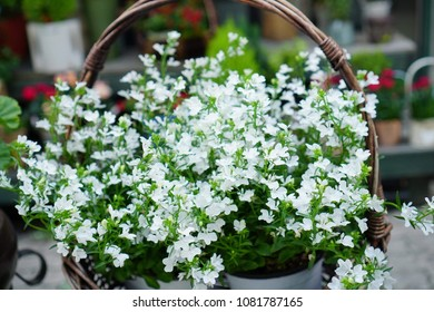 White gypsophilia are blooming in spring, gypsophytes are small, lovely flowers, gypsophy are in brown wood basket.