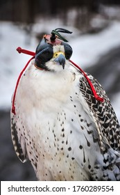 White gyrfalcon with its black leather hood in winter
