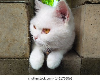 A white half breed persian cute cat with brown eyes sits between the space of the cement blocks looking at something