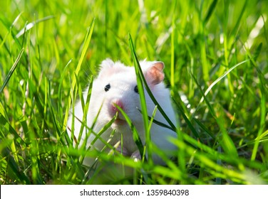 white hamster on lawn closeup