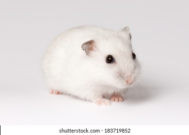 White hamster with pink paws and black eyes