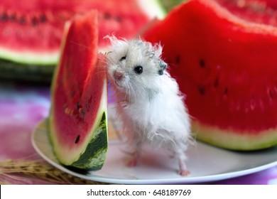 white hamster  watermelon slice