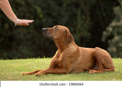 A white hand of a caucasian woman showing her obedient Rhodesian Ridgeback hound dog with cute expression in the face the sign without words for DOWN outdoors in the park
