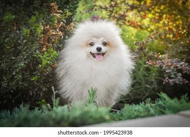 white handsome klein spitz walks in the park