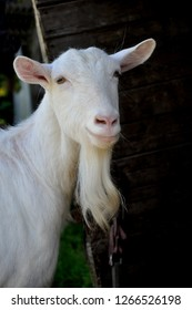 White happy goat . Pet symbol of the year in the Chinese calendar cyclical.
