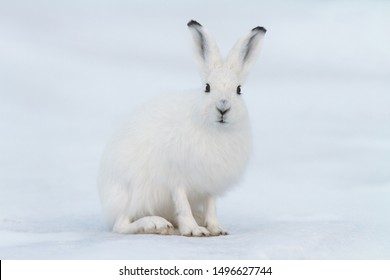 White hare (Lepus timidus). Hare sits on the snow in the tundra. Closeup animal portrait. Eye to eye. Wildlife of the Arctic. Nature and animals of Chukotka. Siberia, Far East Russia.