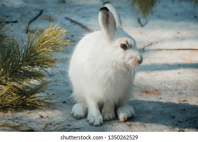 White hare sitting in the snow.