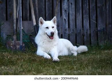 white haski dog sits and looks around. High quality photo
