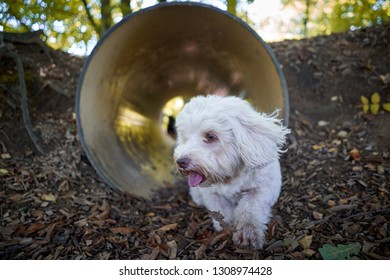 White havanese dog agility training running through tunnel