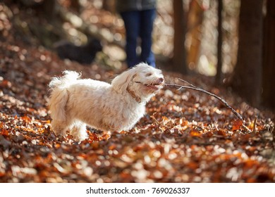 White havanese dog bites branch in the autumn forest with brown leaves