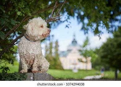 White havanese dog a lake Traunsee in Toskana park in Gmunden Salzkammergut