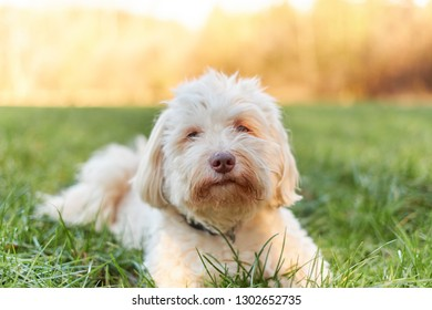 White havanese dog lying in the grass in the morning sun smiling pleased
