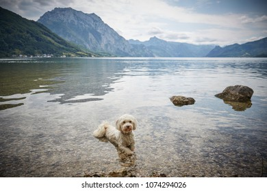 White havanese dog lying in lake Traunsee in Gmunden Salzkammergut