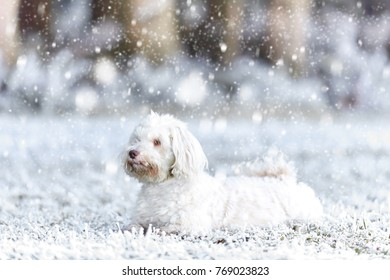 White havanese dog lying in the snow in winter landscape snowing