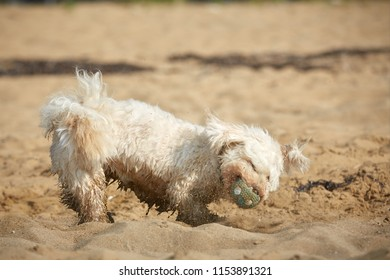 White havanese dog playing with ball on the beach and running