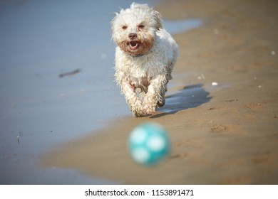 White havanese dog playing with ball on the beach and running in bibione, italy