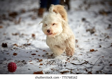 White havanese dog playing with red ball in winter landscape