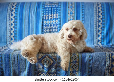 White havanese dog resting majestic on a blue bench