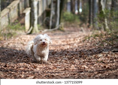 White havanese dog running in the forest