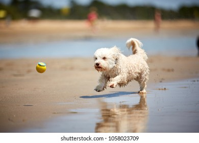 White havanese dog running on the beach on the ocean with water  and a yellow ball