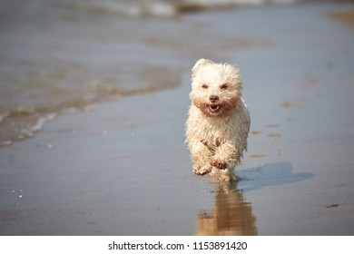White havanese dog running on the beach at the sea