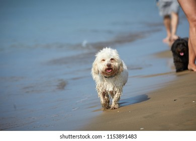 White havanese dog running on the beach at the sea in Bibione, Italy