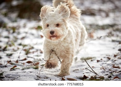 White havanese dog running and playing in winter on snow landscape