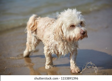 White havanese dog shaking water on the beach in Bibione, italy