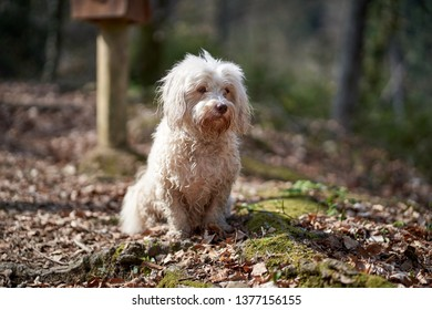 white havanese dog sitting in the forest and looking