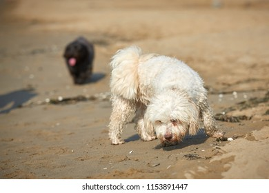 White havanese dog sniffing on the beach in Bibione, Italy
