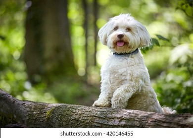 White havanese dog standing on a tree trunk