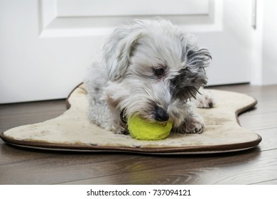 White havanese dog with tennis ball in the mouth waiting to play