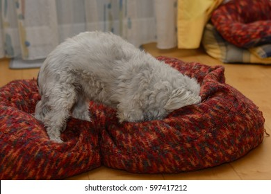 White Havanese plays in his big dog bed