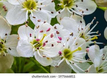 White hawthorn flowers, close up, macro. Crataegus monogyna blossoms.  Single-seeded hawthorn bloom ( may, mayblossom, maythorn, quickthorn, whitethorn, motherdie, haw )