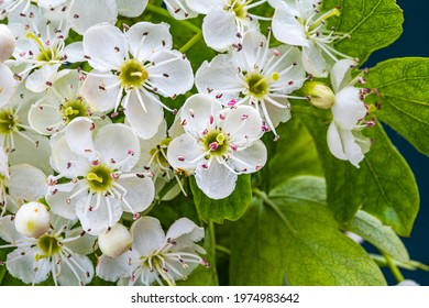 White hawthorn flowers with green leaves, close up, macro. Crataegus monogyna blossoms.  Single-seeded hawthorn bloom ( may, mayblossom, maythorn, quickthorn, whitethorn, motherdie, haw )