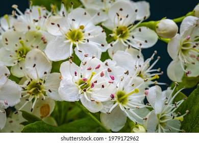 White hawthorn flowers in spring, close up, macro. Crataegus monogyna blossoms.  Single-seeded hawthorn bloom ( may, mayblossom, maythorn, quickthorn, whitethorn, motherdie, haw )