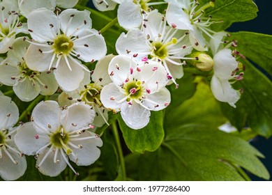 White hawthorn flowers in spring garden, close up, macro. Crataegus monogyna blossoms.  Single-seeded hawthorn bloom ( may, mayblossom, maythorn, quickthorn, whitethorn, motherdie, haw )