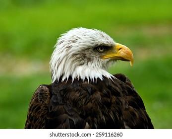 White Head of Bald Eagle