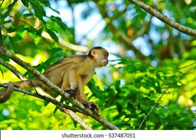 White headed capuchin in the rain forest near Manaus, Brazil