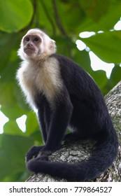 White Headed Capuchin sitting on tree branch, Manual Antonio National Park, Costa Rica