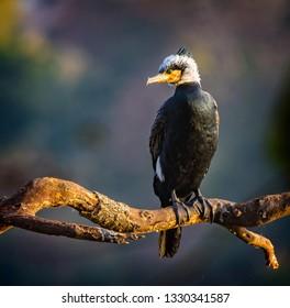 White headed cormorant looking left.