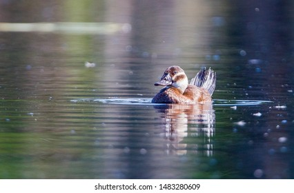 White headed Duck (Oxyura leucocephala) is a rare species in Kayseri Sultan Reeds National Parks in Turkey.
