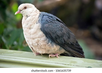 the white headed pigeon is perched on a fence